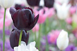 Saint-Saviour - Black tulip in Howard Davies Park cemetery