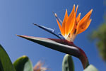 Funchal - Bird-of-paradise flower