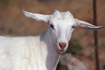 Elounda - White goat with extended ears
