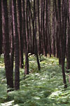Belin-Béliet - Maritime pines forest with ferns